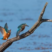 July -Kingfishers at Gosforth Park Nature Reserve by Martin Farrer